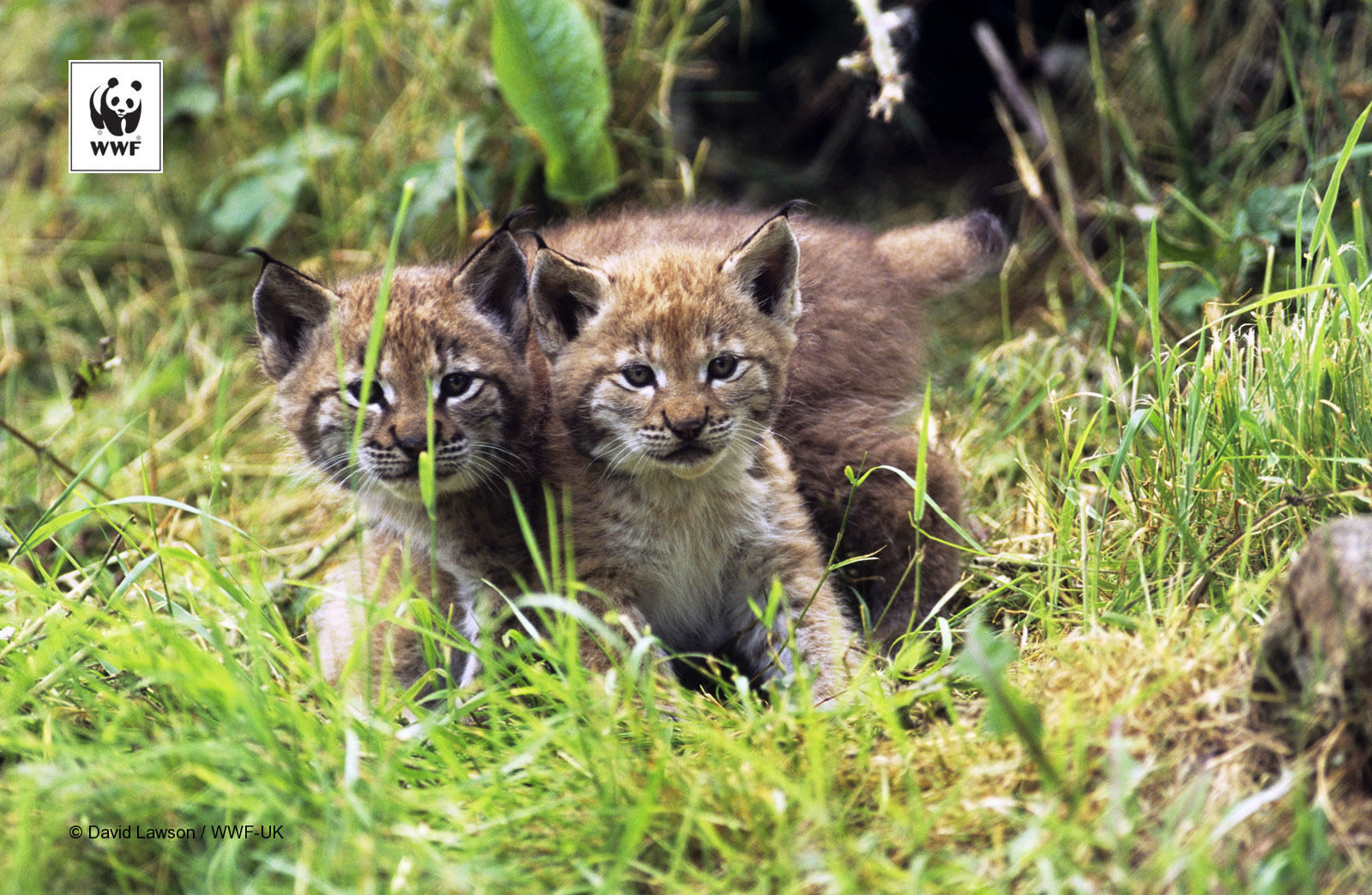 European lynx kittens (Felis lynx)
